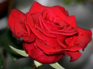 rosa-rossa profumerie campanella